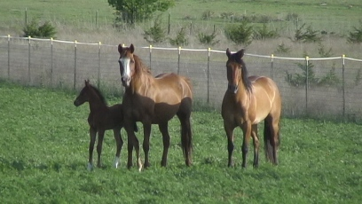 Siobhana with 2006 Arabian colt Khanukatchmi and pal Spirit
